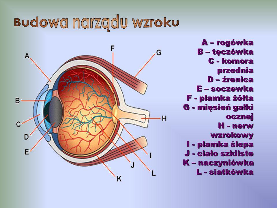 A – rogówka B – tęczówka C - komora przednia D – źrenica E – soczewka F - plamka żółta G - mięsień gałki ocznej H - nerw wzrokowy I - plamka ślepa J - ciało szkliste K – naczyniówka L - siatkówka