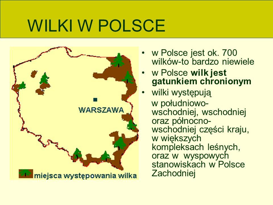 WILKI W POLSCE w Polsce jest ok.
