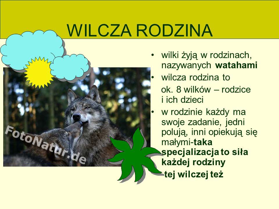 WILCZA RODZINA wilki żyją w rodzinach, nazywanych watahami wilcza rodzina to ok.