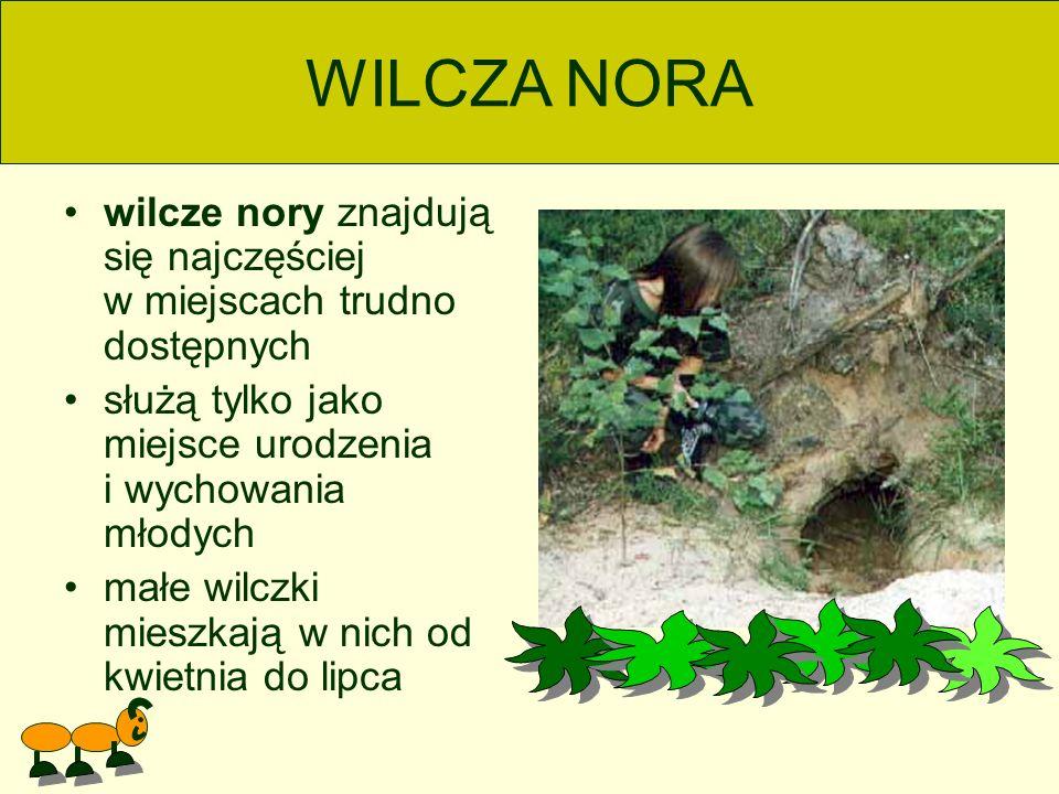 wilcze nory znajdują się najczęściej w miejscach trudno dostępnych służą tylko jako miejsce urodzenia i wychowania młodych małe wilczki mieszkają w nich od kwietnia do lipca WILCZA NORA