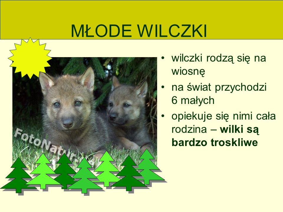MŁODE WILCZKI wilczki rodzą się na wiosnę na świat przychodzi 6 małych opiekuje się nimi cała rodzina – wilki są bardzo troskliwe