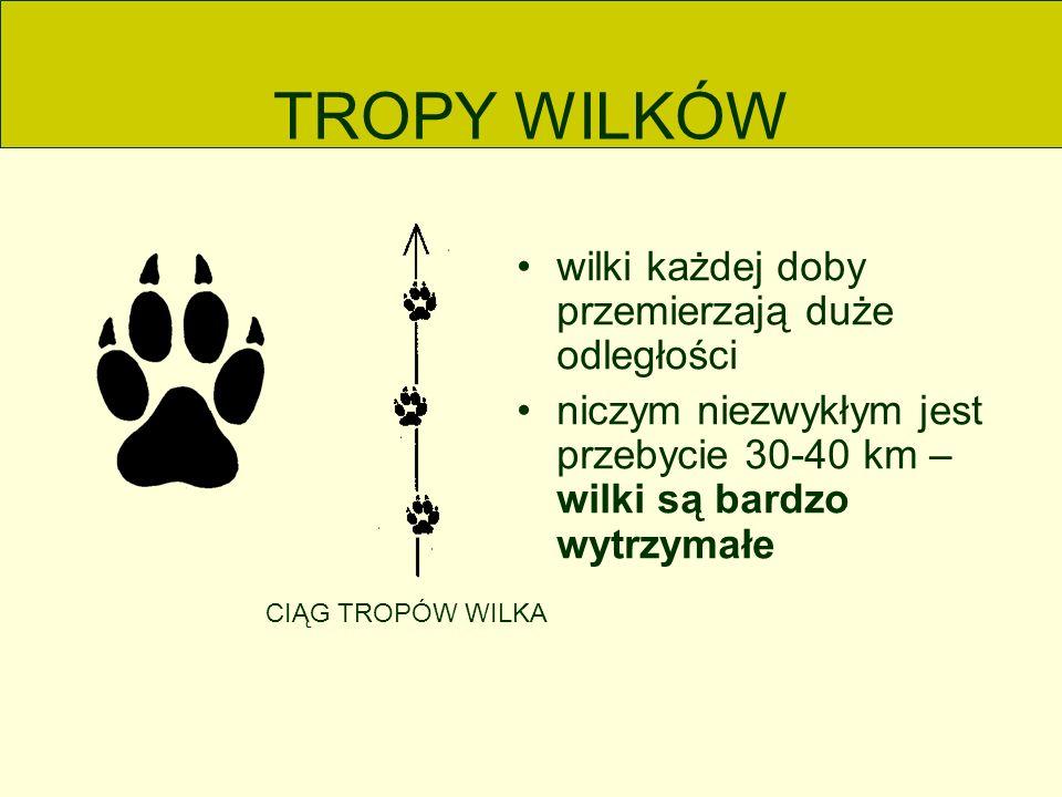 TROPY WILKÓW wilki każdej doby przemierzają duże odległości niczym niezwykłym jest przebycie 30-40 km – wilki są bardzo wytrzymałe CIĄG TROPÓW WILKA