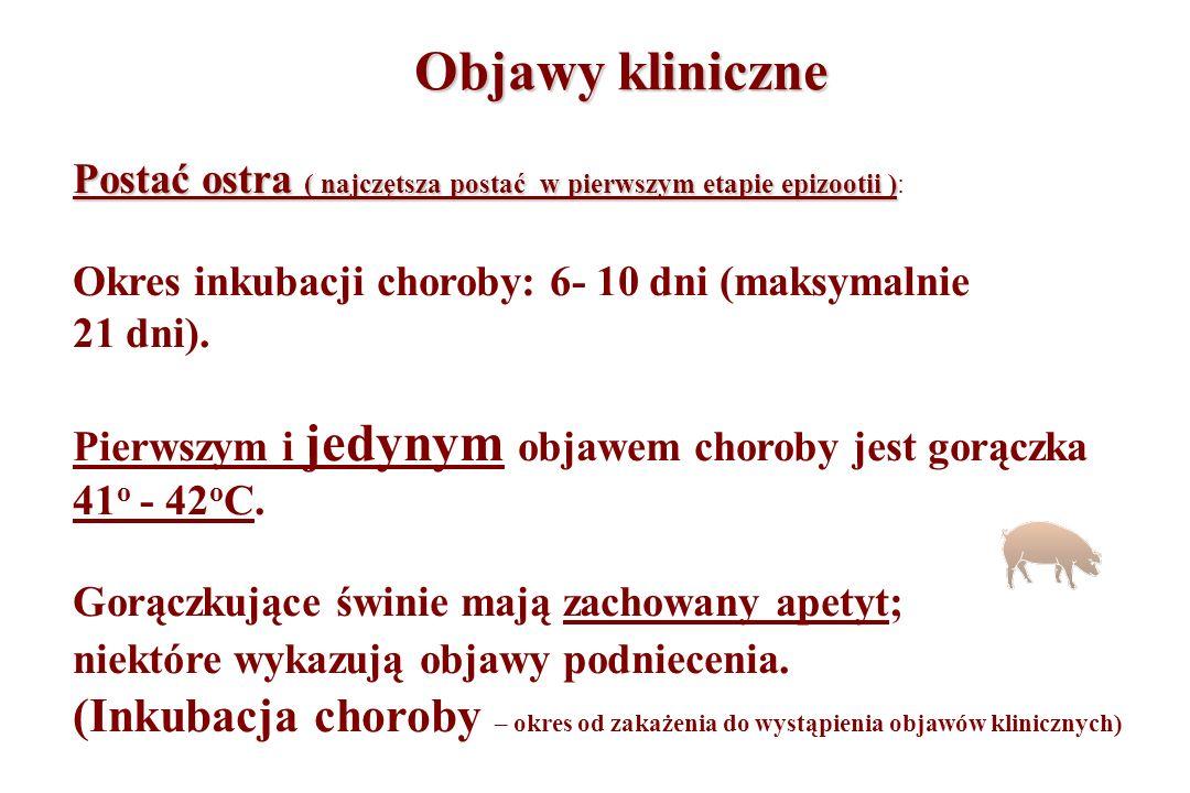Objawy kliniczne Postać ostra ( najczętsza postać w pierwszym etapie epizootii ) Postać ostra ( najczętsza postać w pierwszym etapie epizootii ): Okre