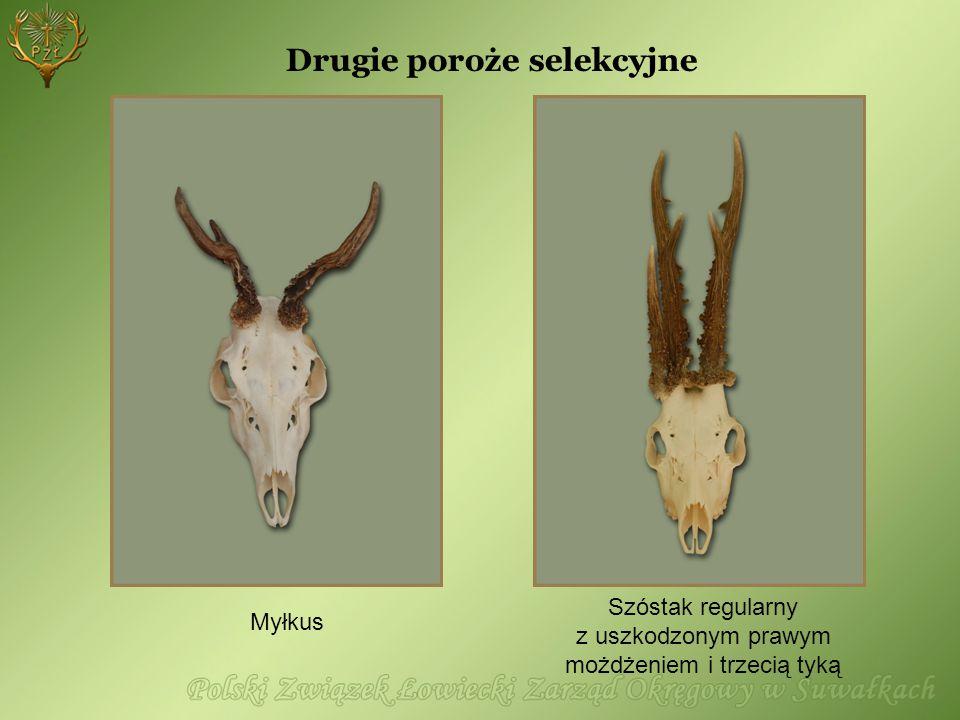 Drugie poroże selekcyjne Szóstak regularny z uszkodzonym prawym możdżeniem i trzecią tyką Myłkus