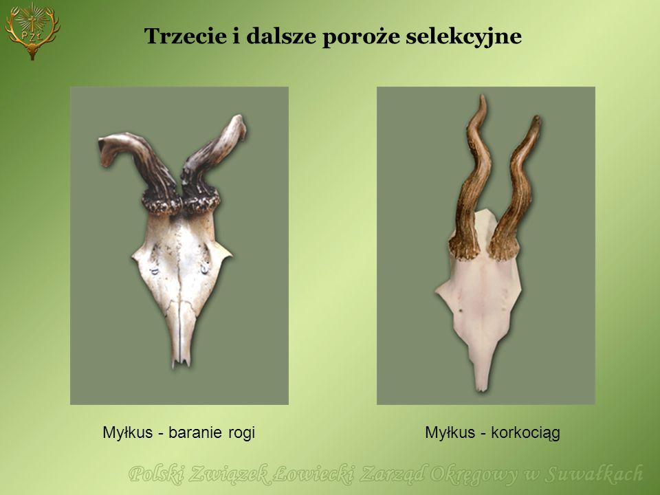 Myłkus - korkociąg Myłkus - baranie rogi Trzecie i dalsze poroże selekcyjne