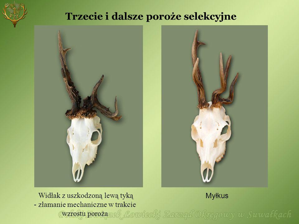 Myłkus Widłak z uszkodzoną lewą tyką - złamanie mechaniczne w trakcie wzrostu poroża