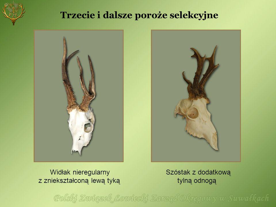 Trzecie i dalsze poroże selekcyjne Widłak nieregularny z zniekształconą lewą tyką Szóstak z dodatkową tylną odnogą