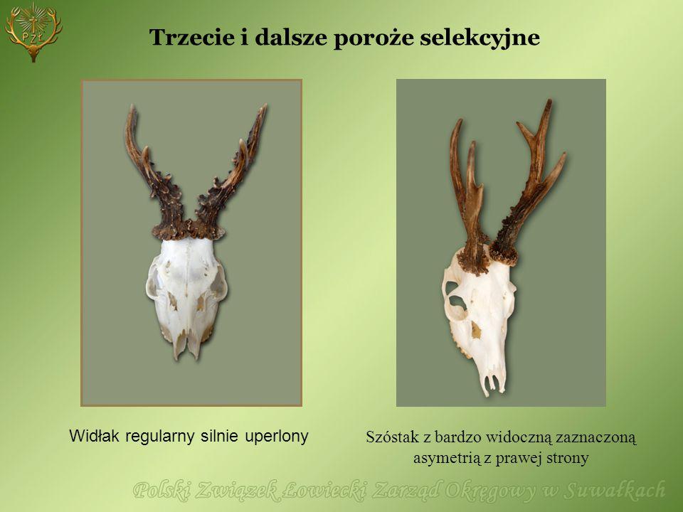 Trzecie i dalsze poroże selekcyjne Widłak regularny silnie uperlony Szóstak z bardzo widoczną zaznaczoną asymetrią z prawej strony