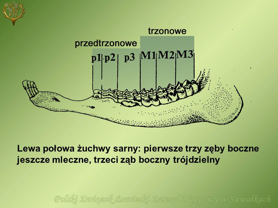 Lewa połowa żuchwy sarny: pierwsze trzy zęby boczne jeszcze mleczne, trzeci ząb boczny trójdzielny