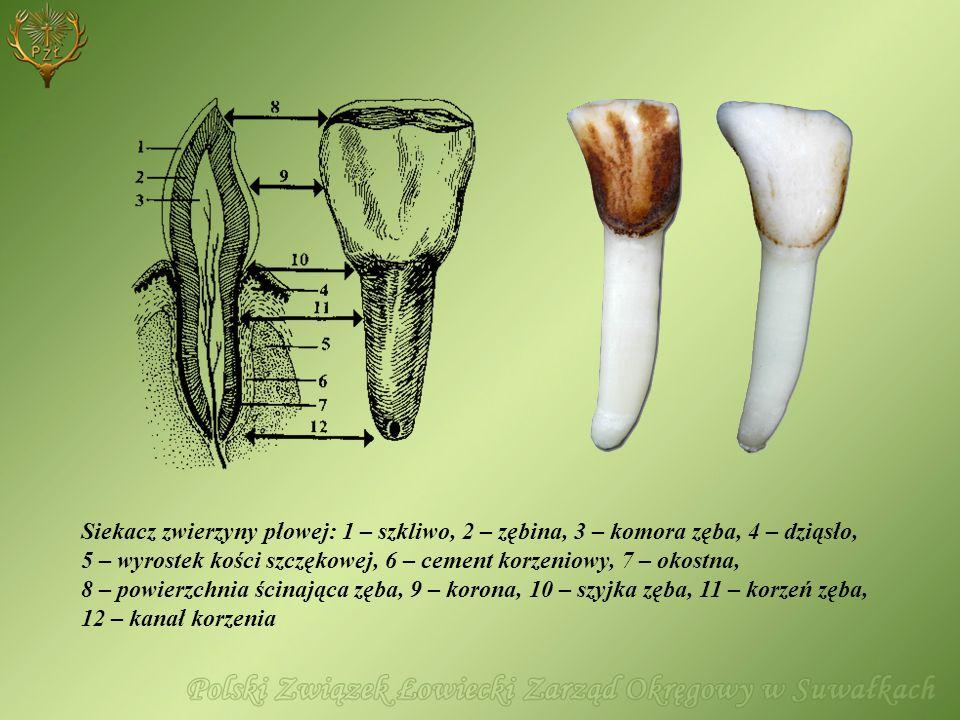 Siekacz zwierzyny płowej: 1 – szkliwo, 2 – zębina, 3 – komora zęba, 4 – dziąsło, 5 – wyrostek kości szczękowej, 6 – cement korzeniowy, 7 – okostna, 8
