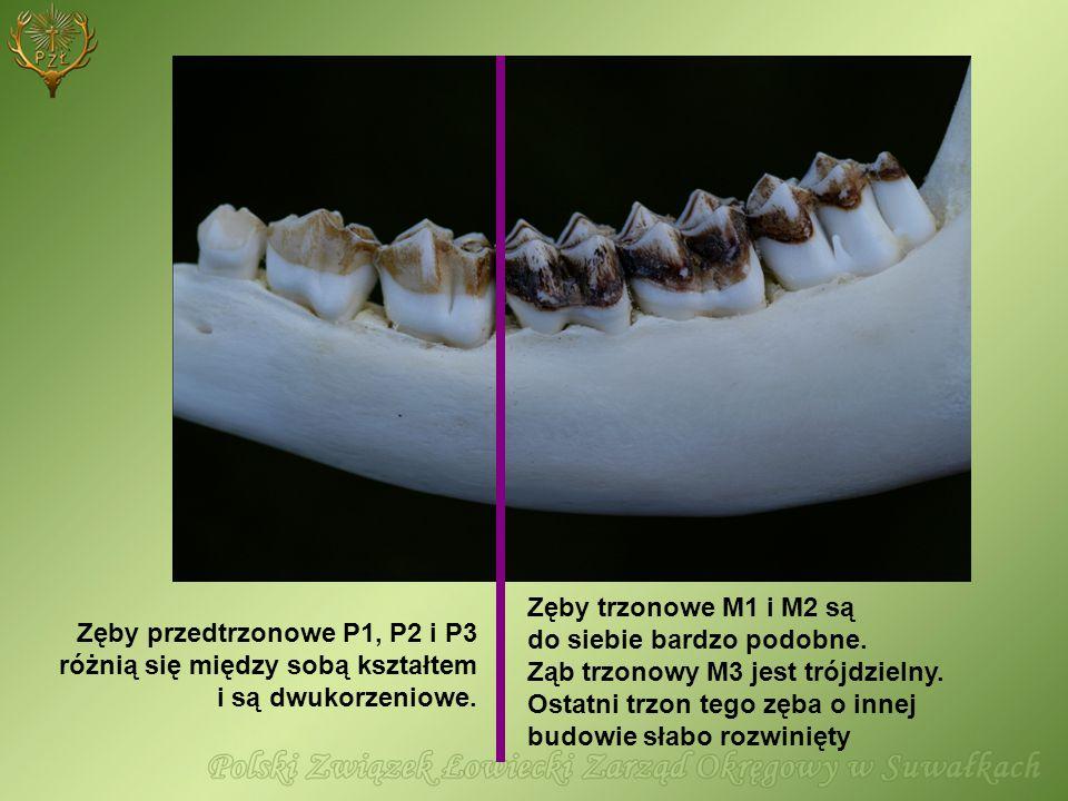 Zęby przedtrzonowe P1, P2 i P3 różnią się między sobą kształtem i są dwukorzeniowe. Zęby trzonowe M1 i M2 są do siebie bardzo podobne. Ząb trzonowy M3