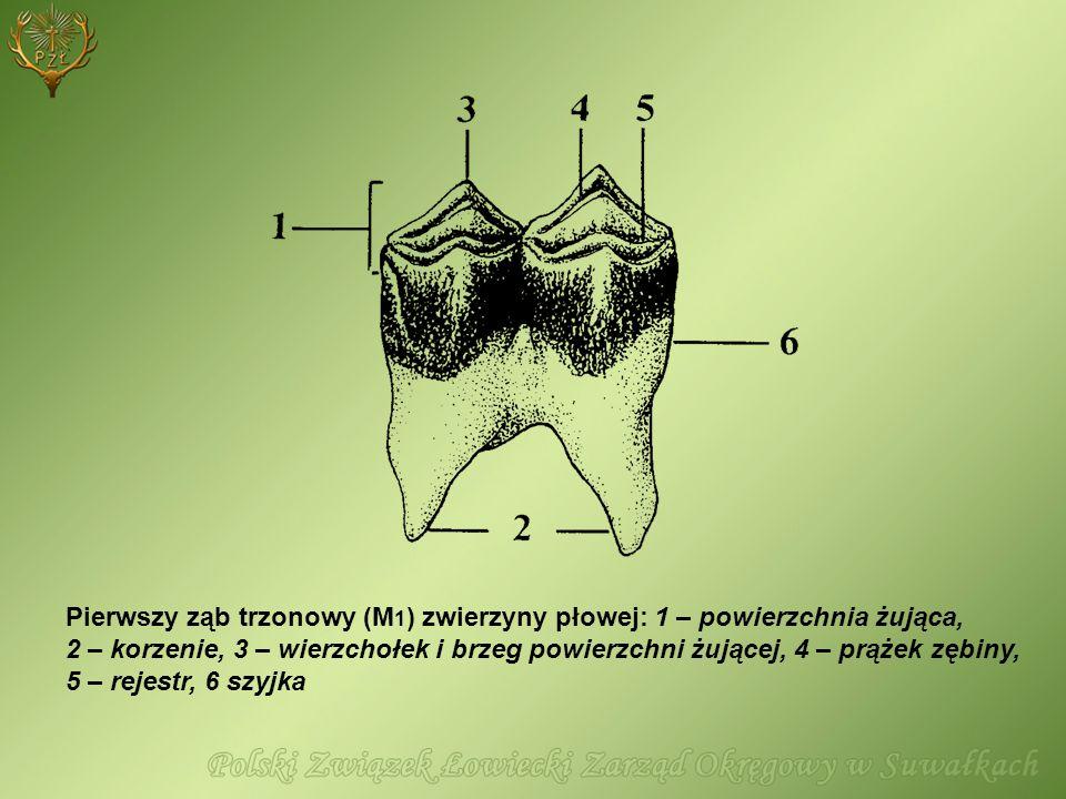 Pierwszy ząb trzonowy (M 1 ) zwierzyny płowej: 1 – powierzchnia żująca, 2 – korzenie, 3 – wierzchołek i brzeg powierzchni żującej, 4 – prążek zębiny,