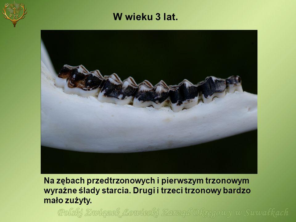 Na zębach przedtrzonowych i pierwszym trzonowym wyraźne ślady starcia. Drugi i trzeci trzonowy bardzo mało zużyty. W wieku 3 lat.