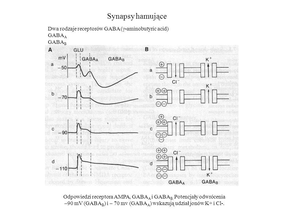 Synapsy hamujące Odpowiedzi receptora AMPA, GABA A i GABA B. Potencjały odwrócenia –90 mV (GABA B ) i – 70 mv (GABA A ) wskazują udział jonów K+ i Cl-