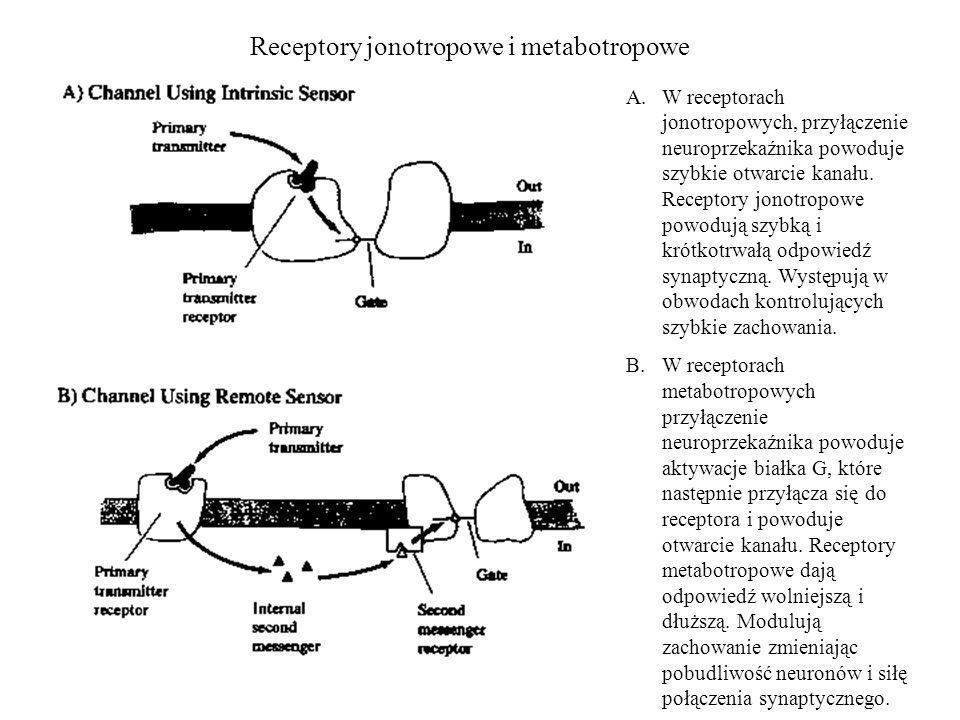 Receptory jonotropowe i metabotropowe A.W receptorach jonotropowych, przyłączenie neuroprzekaźnika powoduje szybkie otwarcie kanału. Receptory jonotro