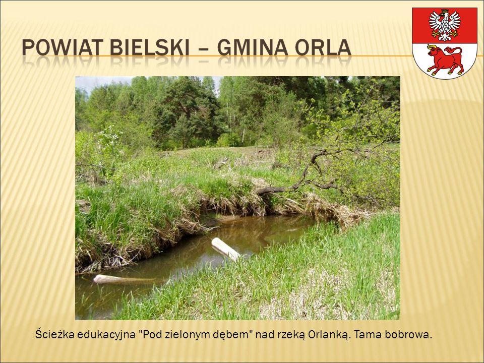 Ścieżka edukacyjna Pod zielonym dębem nad rzeką Orlanką. Tama bobrowa.