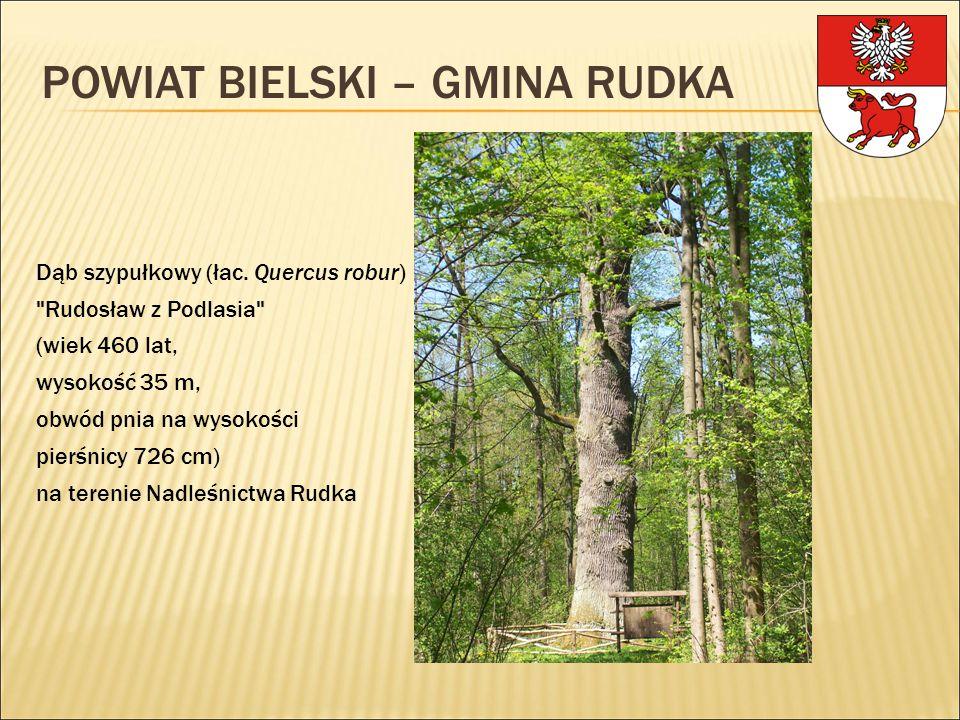 Dąb szypułkowy (łac. Quercus robur)