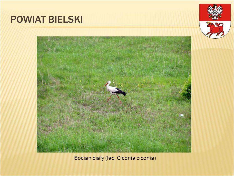 POWIAT BIELSKI Bocian biały (łac. Ciconia ciconia)
