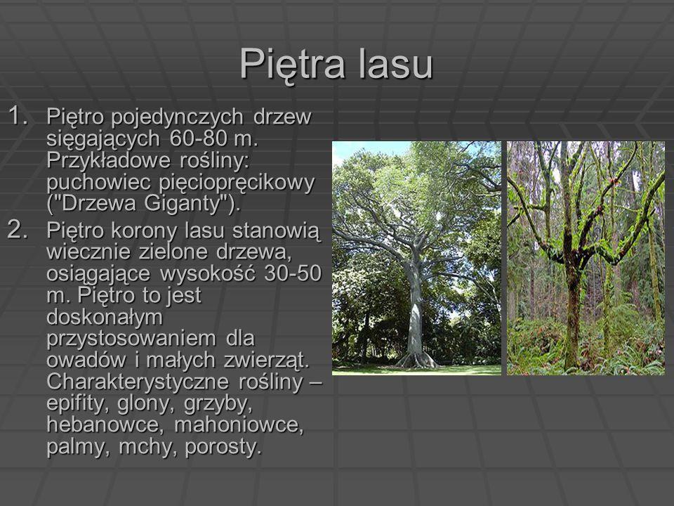 Piętra lasu 1. Piętro pojedynczych drzew sięgających 60-80 m. Przykładowe rośliny: puchowiec pięciopręcikowy (