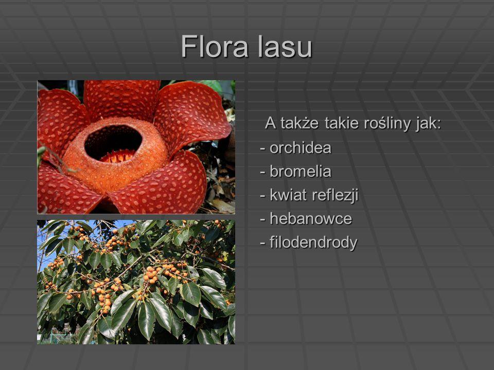 Flora lasu A także takie rośliny jak: A także takie rośliny jak: - orchidea - bromelia - kwiat reflezji - hebanowce - filodendrody