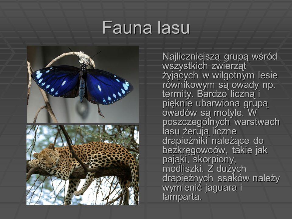 Fauna lasu Najliczniejszą grupą wśród wszystkich zwierząt żyjących w wilgotnym lesie równikowym są owady np. termity. Bardzo liczną i pięknie ubarwion