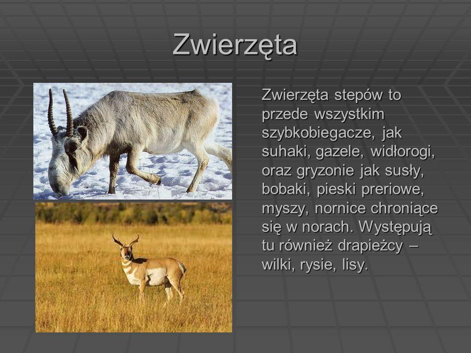 Zwierzęta Zwierzęta stepów to przede wszystkim szybkobiegacze, jak suhaki, gazele, widłorogi, oraz gryzonie jak susły, bobaki, pieski preriowe, myszy,