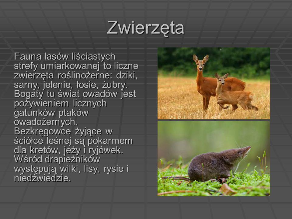 Zwierzęta Fauna lasów liściastych strefy umiarkowanej to liczne zwierzęta roślinożerne: dziki, sarny, jelenie, łosie, żubry. Bogaty tu świat owadów je