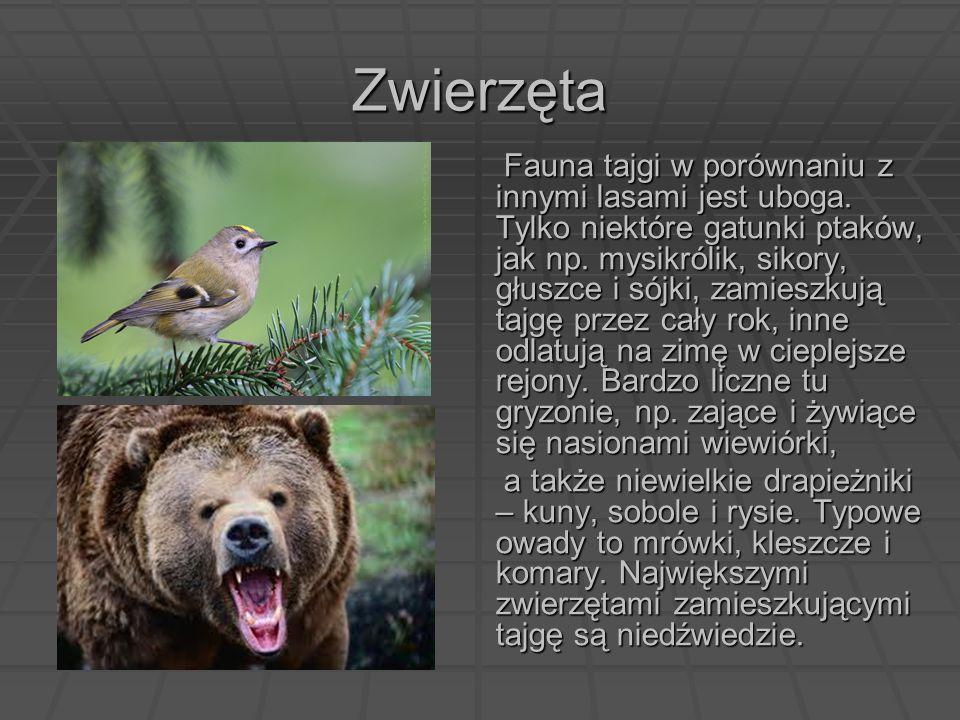 Zwierzęta Fauna tajgi w porównaniu z innymi lasami jest uboga. Tylko niektóre gatunki ptaków, jak np. mysikrólik, sikory, głuszce i sójki, zamieszkują