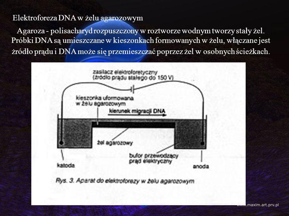 Elektroforeza DNA w żelu agarozowym Agaroza - polisacharyd rozpuszczony w roztworze wodnym tworzy stały żel. Próbki DNA są umieszczane w kieszonkach f