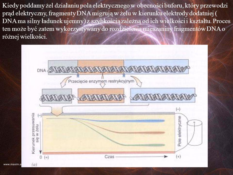 Kiedy poddamy żel działaniu pola elektrycznego w obecności buforu, który przewodzi prąd elektryczny, fragmenty DNA migrują w żelu w kierunku elektrody