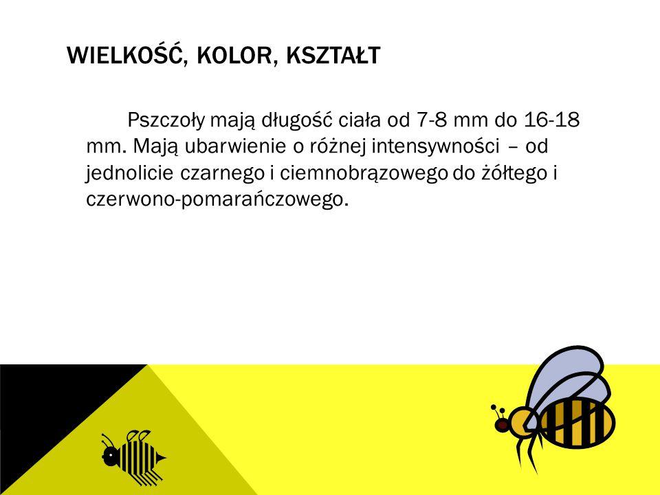 WIELKOŚĆ, KOLOR, KSZTAŁT Pszczoły mają długość ciała od 7-8 mm do 16-18 mm. Mają ubarwienie o różnej intensywności – od jednolicie czarnego i ciemnobr