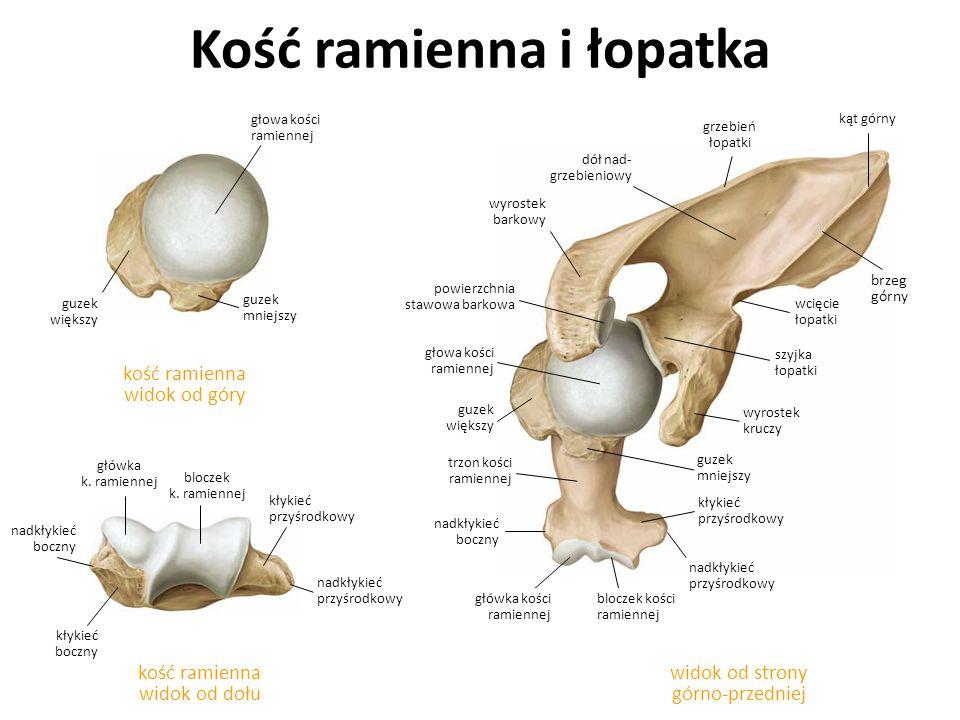 Kości ramienna widok od tyłuwidok od przodu bruzda międzyguzkowa szyjka chirurgiczna guzowatość naramienna bruzda nerwu łokciowego kłykieć przyśrodkowy nadkłykieć przyśrodkowy główka k.