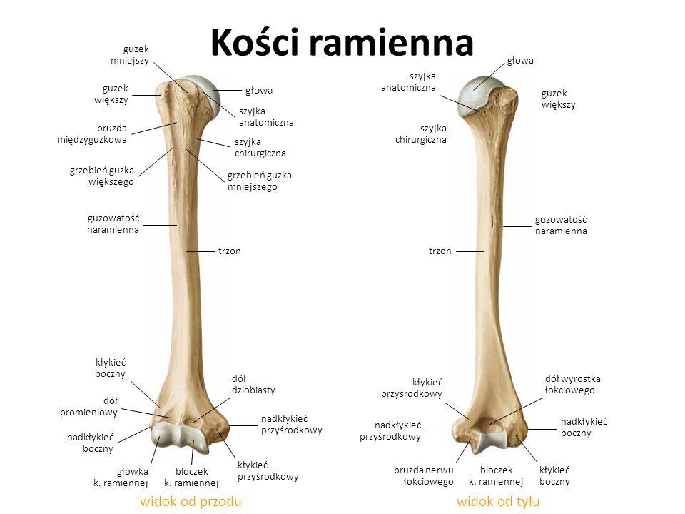 Kości ramienna widok od tyłuwidok od przodu bruzda międzyguzkowa szyjka chirurgiczna guzowatość naramienna bruzda nerwu łokciowego kłykieć przyśrodkow