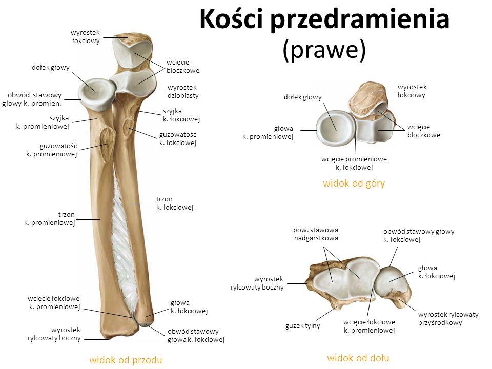 Kości przedramienia (prawe) widok od dołu widok od góry widok od przodu szyjka k. promieniowej guzowatość k. promieniowej szyjka k. łokciowej wyrostek