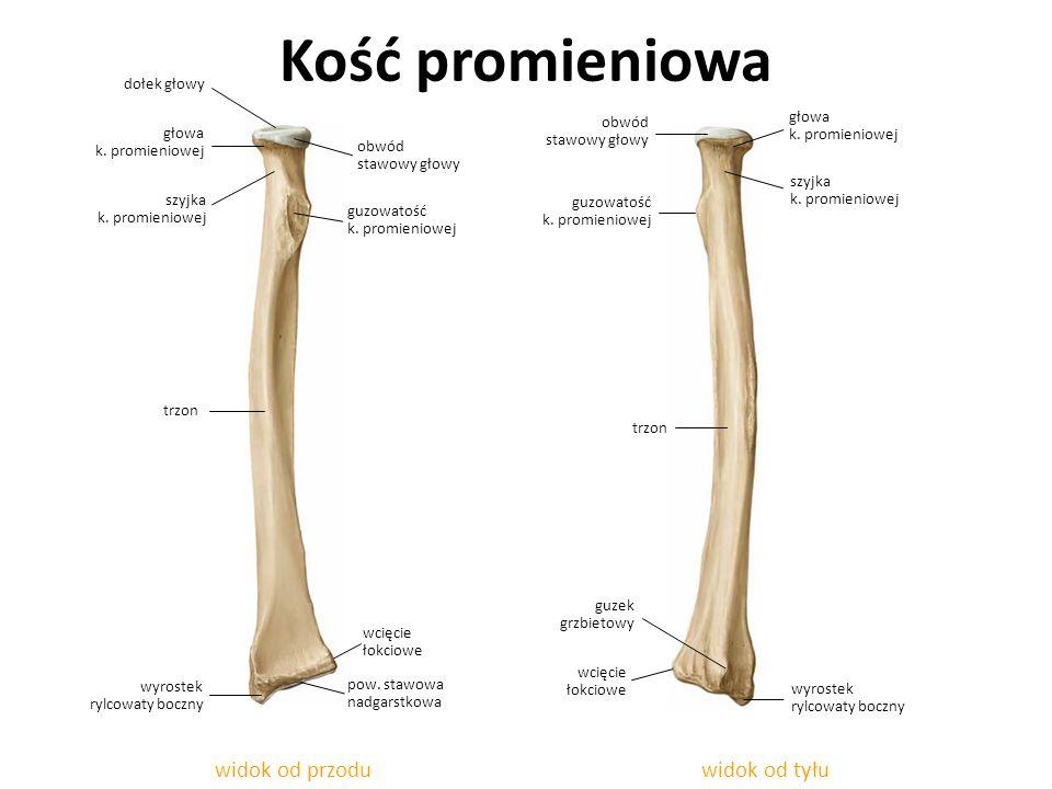 widok od tyłu Kość promieniowa widok od przodu szyjka k. promieniowej guzowatość k. promieniowej wyrostek rylcowaty boczny szyjka k. promieniowej głow