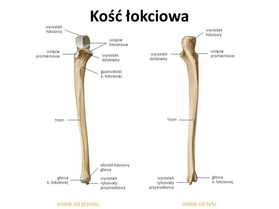 Kość łokciowa widok od tyłuwidok od przodu wcięcie promieniowe wyrostek rylcowaty przyśrodkowy wyrostek dziobiasty guzowatość k. łokciowej głowa k. ło