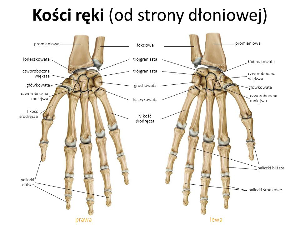 Kości ręki (od strony dłoniowej) lewaprawa haczykowata czworoboczna większa łódeczkowata grochowata trójgraniasta łokciowa główkowata czworoboczna mni