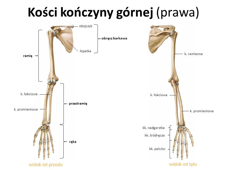 Kości kończyny górnej (prawa) widok od przodu widok od tyłu przedramię k. łokciowa k. promieniowa ramię ręka kk. nadgarstka łopatka obojczyk k. łokcio
