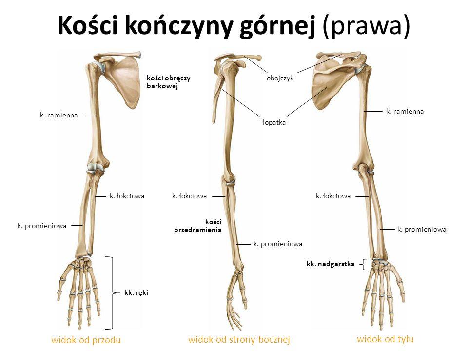 Kości kończyny górnej (prawa) widok od przodu widok od strony bocznej widok od tyłu kości przedramienia k. łokciowa k. promieniowa k. ramienna kk. ręk