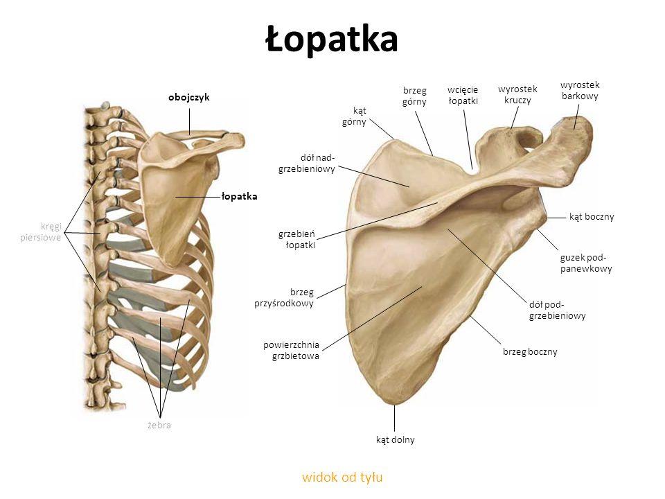 Łopatka widok od tyłu żebra brzeg przyśrodkowy obojczyk kręgi piersiowe łopatka wcięcie łopatki brzeg górny kąt górny dół nad- grzebieniowy grzebień ł