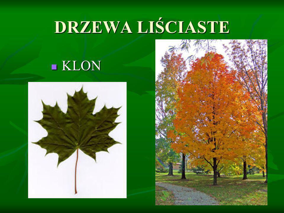 DRZEWA LIŚCIASTE KLON KLON