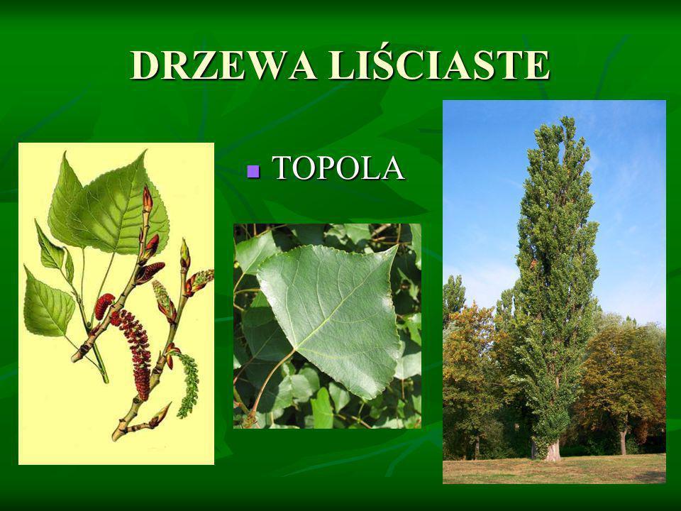 DRZEWA LIŚCIASTE TOPOLA TOPOLA