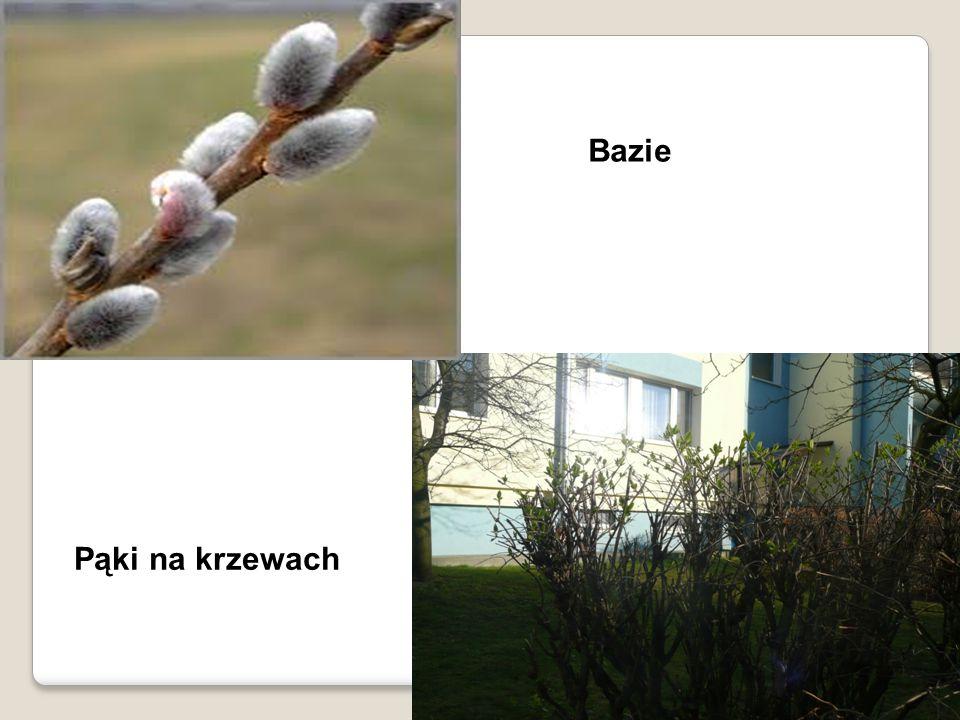 Pąki na krzewach Bazie