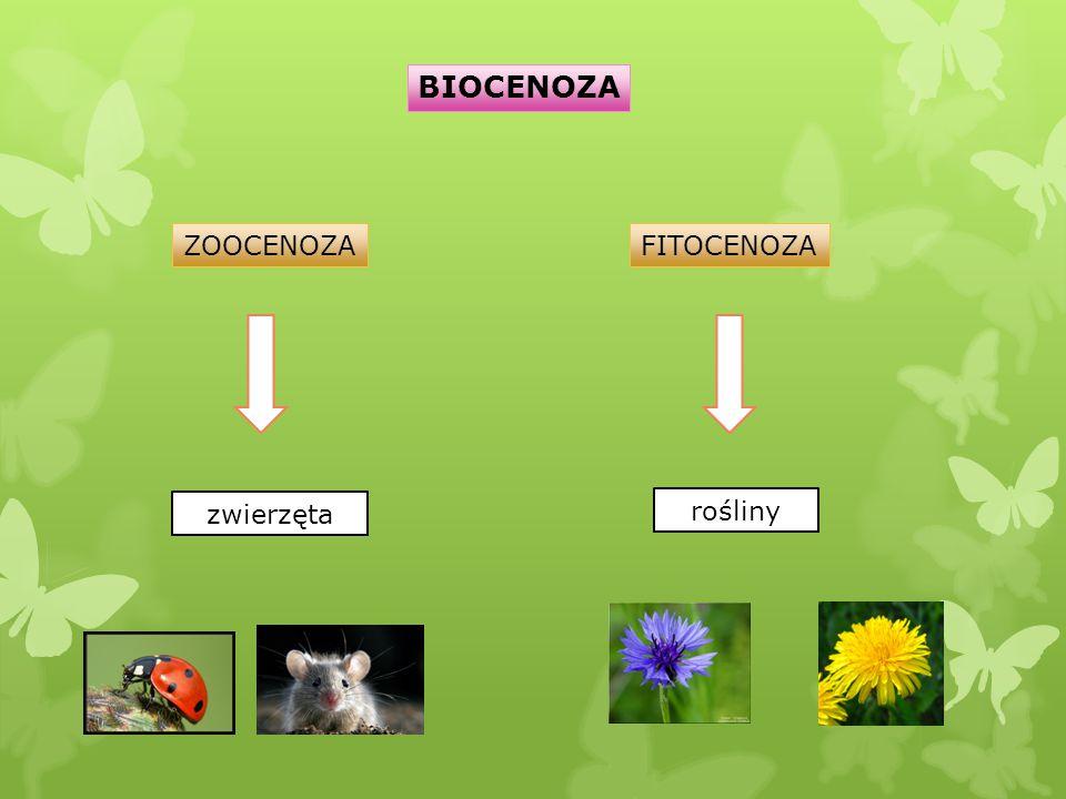 BIOCENOZA ZOOCENOZAFITOCENOZA zwierzęta rośliny