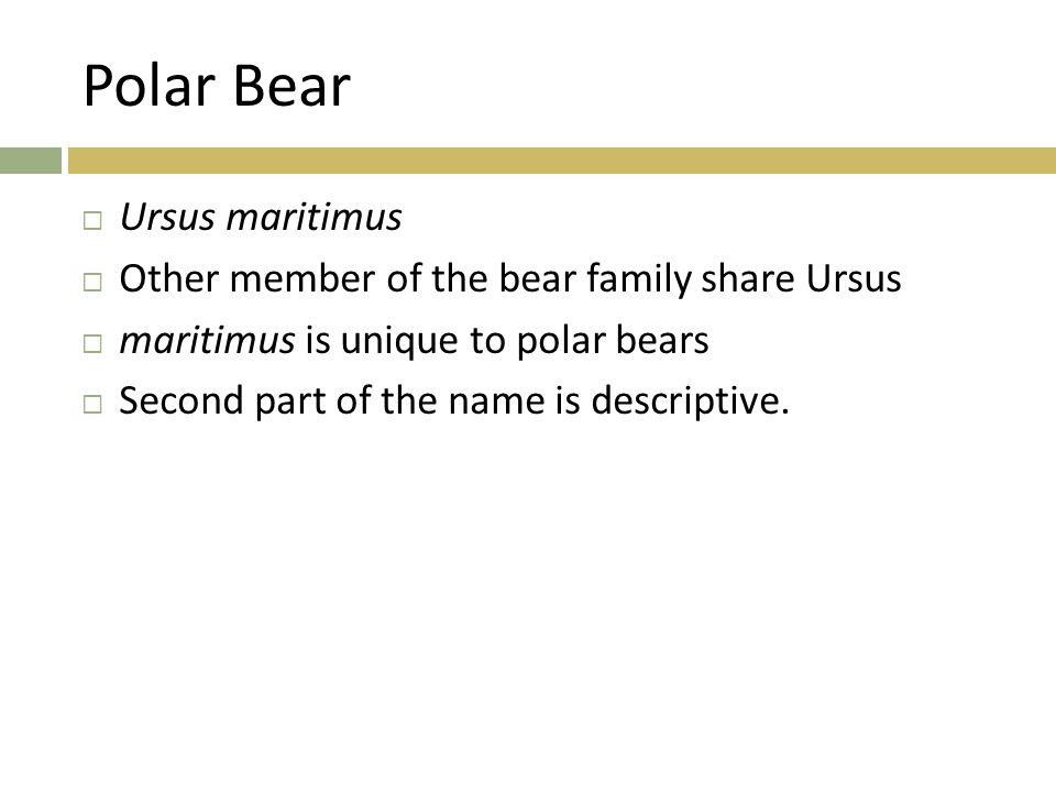 Grey Wolf  Wilk (Canis lupus) jest największym przedstawicielem rodziny psowatych, osiąga długość do ok.