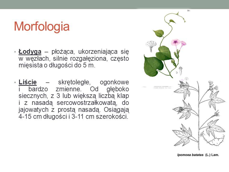 Kwiaty - duże, o długości korony 3-7 cm, zebrane są po 3-4 w kątach liści.
