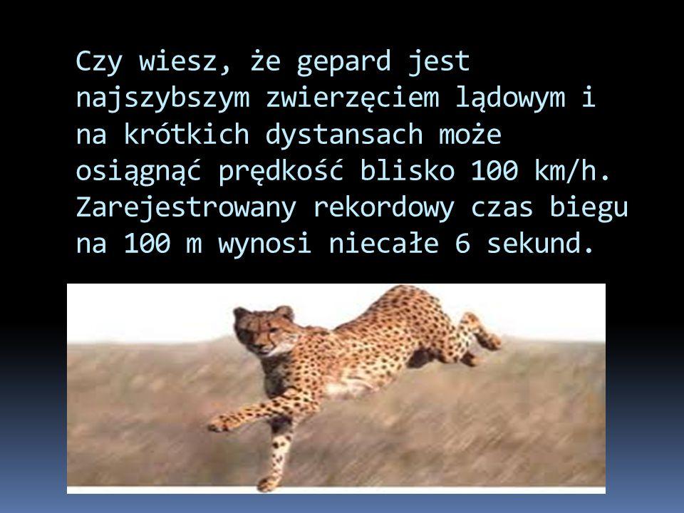 Czy wiesz, że gepard jest najszybszym zwierzęciem lądowym i na krótkich dystansach może osiągnąć prędkość blisko 100 km/h. Zarejestrowany rekordowy cz