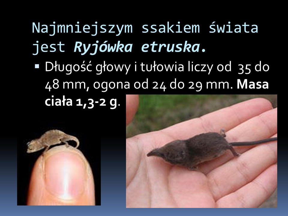 Najmniejszym ssakiem świata jest Ryjówka etruska.  Długość głowy i tułowia liczy od 35 do 48 mm, ogona od 24 do 29 mm. Masa ciała 1,3-2 g.