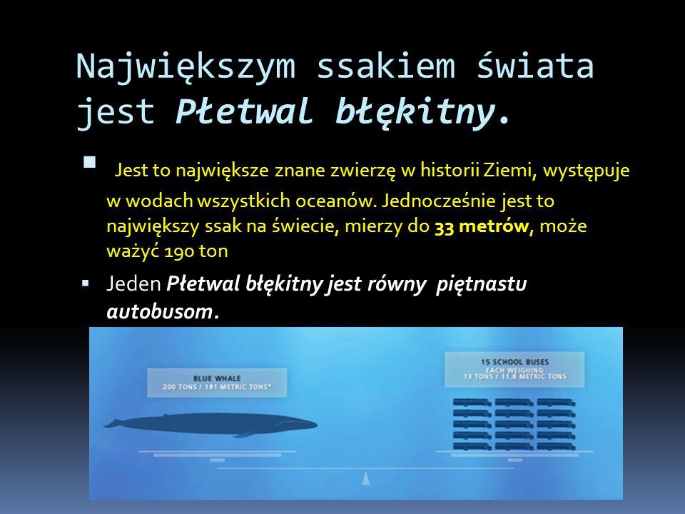 Zdjęcia Płetwala błękitnego: