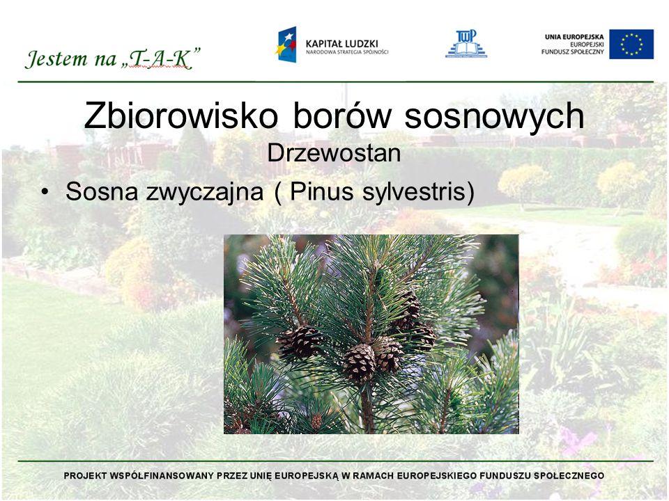 Zbiorowisko borów sosnowych Drzewostan Sosna zwyczajna ( Pinus sylvestris)